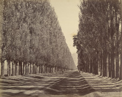 Avenue of poplars at Srinuggur, Kashmir.